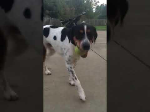 2 YO Bernese Mtn Dog Australian Shepherd Mix For Adoption - Memphis TN