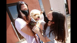 MACY REUNITED WITH FAMILY: Six-year-old Yorkie dog attacked by coyote on the mend