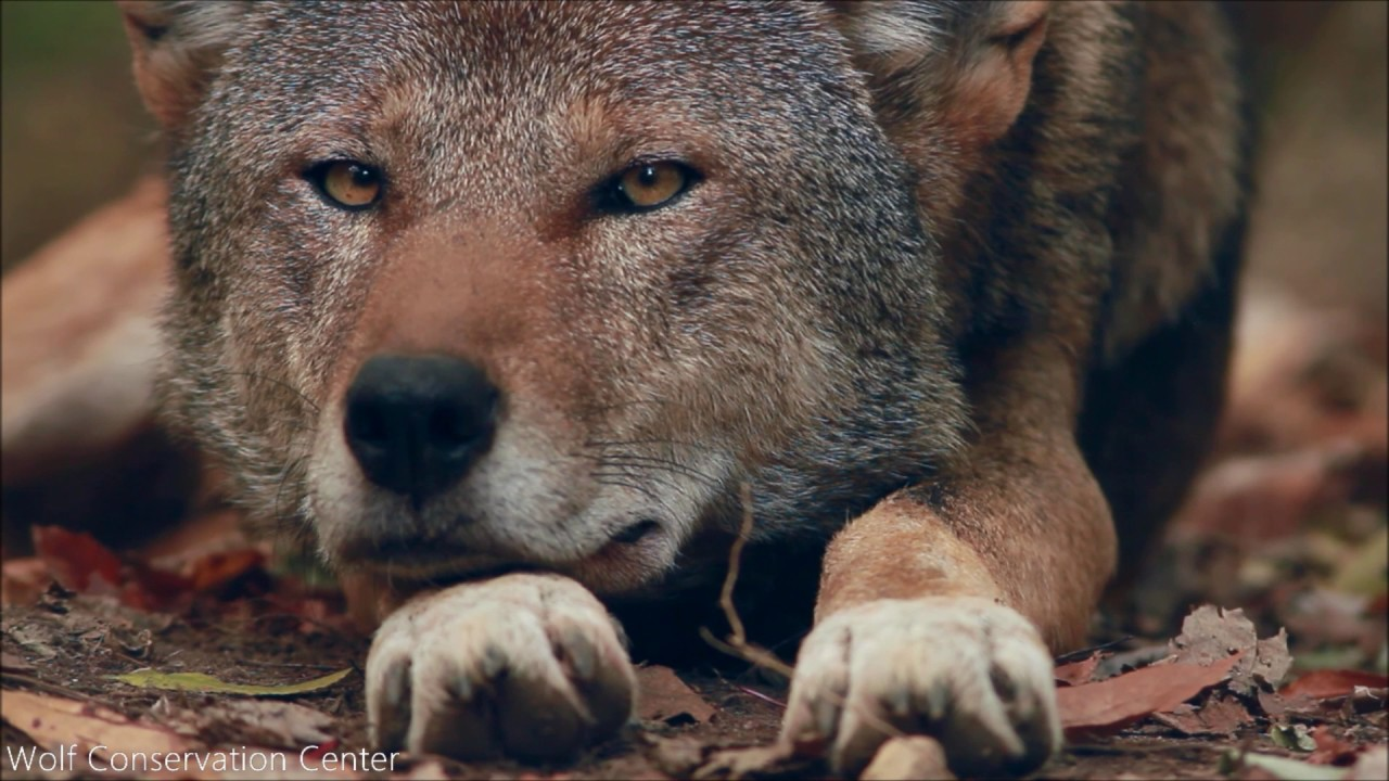 The Essential Red Wolf