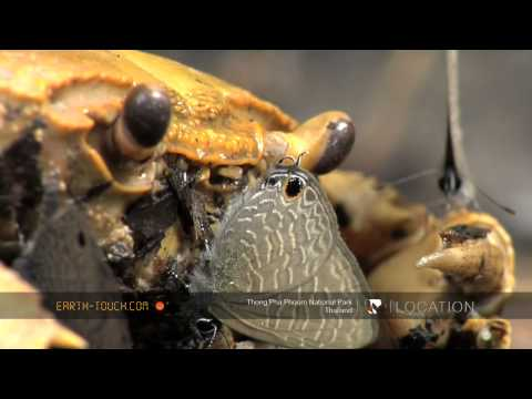 Bees And Butterflies Eat Dead Crab