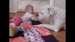 """super Dangerous"" American Bulldog Is Babysitting."