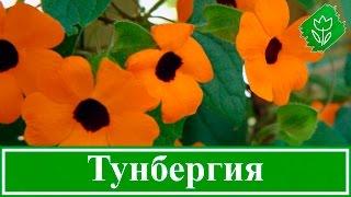 видео Азарина лазающая: фото, выращивание цветка из семян