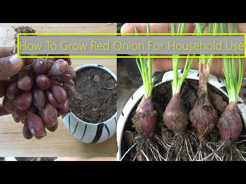 How To Grow Red Onion For Household Use