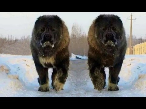 DOG BREED Best MOUNTAIN Fastest Dog Breed [Mr Fahey]