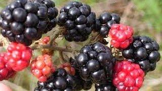 How to Grow Blackberries- TvAgro por Juan Gonzalo Angel