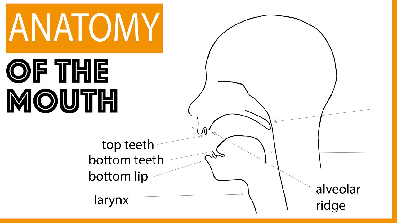 Anatomy Of The Mouth Youtube