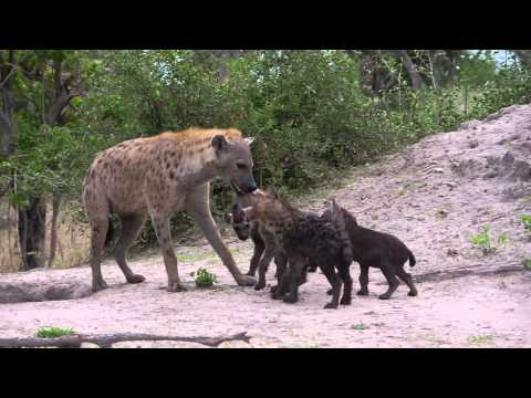 Spotted Hyena Social Structure - Eyes on Africa