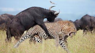 Нападения Животных на людей Атака Буйволов и Слонов БИТВА С ОХОТНИКАМИ