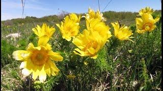 Адонис. Горицвет весенний. Стародубка. Лекарственные травы.(Настой адониса. Берут 1/2 столовой ложки (5—6 г) сушеной травы, заливают 1 стаканом горячей воды, кипятят на..., 2015-07-11T08:45:55.000Z)