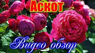 Обзор розы Аскот (Чайно гибридная) - Ascot (Evers Германия, 2007) - Видео от КФХ ГРАНДИФЛОРА. Садовый центр в Никитском