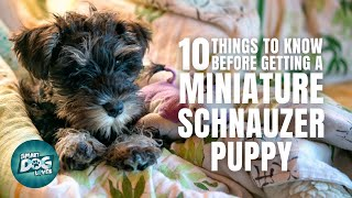 Miniature Schnauzer Puppies | Things to Know about Before Getting A Miniature Schnauzer Puppy