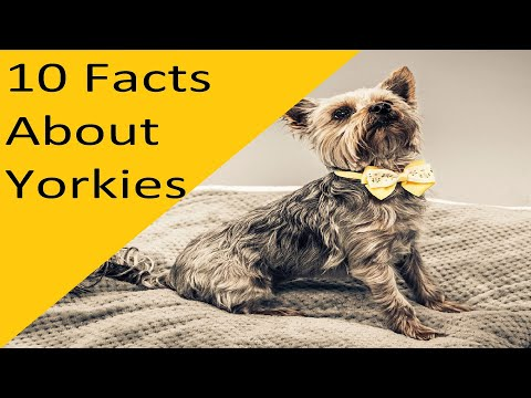 10 Facts About Yorkie Dog Breed (dogs 101)