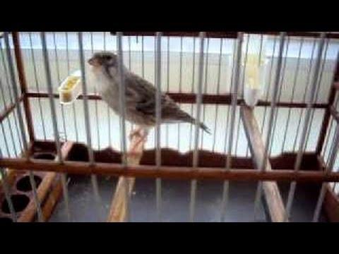 Burung Master : Edel Sanger Super Gacor