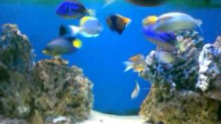 video ikan hias lautku