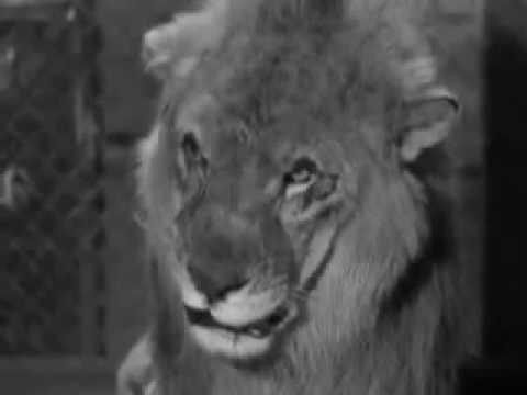 Precaución con el León.Los Tres Chiflados.Único Capítulo donde Aparecen Moe, Shemp y Curly
