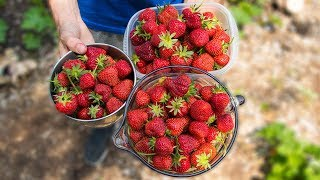 How to Grow and Harvest The Best Strawberries | Gardening Tips and Tricks