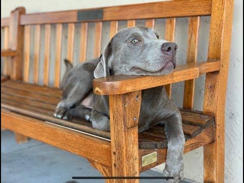 Cullen - 8 Month Old Silver Lab - Dog Training Omaha Nebraska