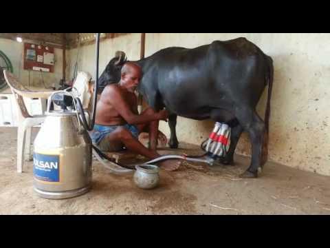 Buffalo Milking Machine