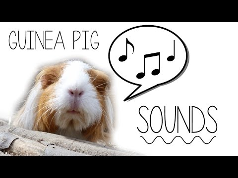 How To Tell Guinea Pig Sounds