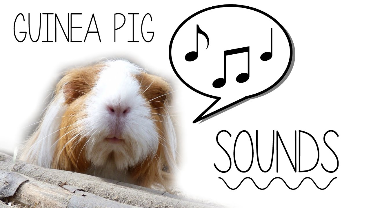 How to understand guinea pig