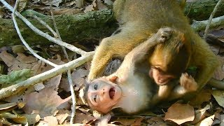 SO funny! Baby Gino and Ginger fighting for fun together, baby monkey Gino update, baby monkey Toni