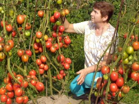 семена розовых помидор купить - YouTube