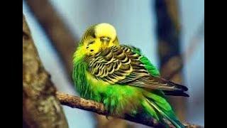 Muhabbet Kuşları Neden Kabarık Durmaya Başlar ?