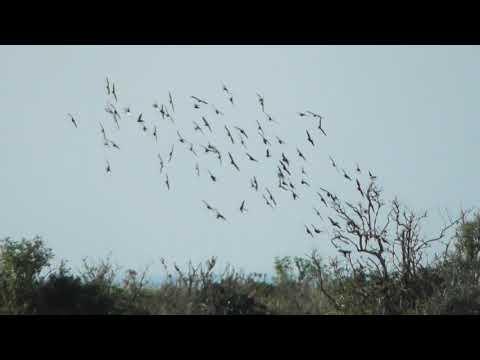 good Fast Flock of Starlings land RSPB Snettisham Norfolk 28aug17 542p