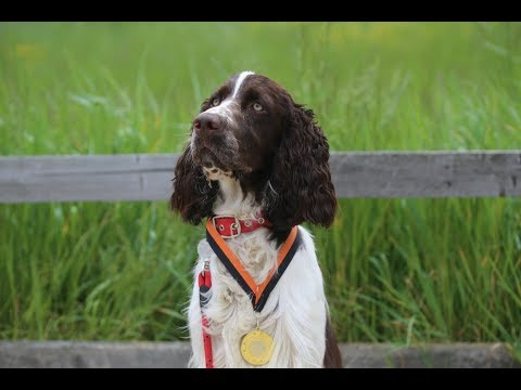 Monty - Springer Spaniel - 3 Weeks Residential Dog Training