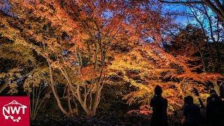 Illuminated Autumn Leaves At Rikugien Garden Tokyo