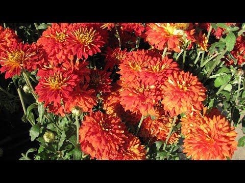 Как посадить хризантемы осенью в саду