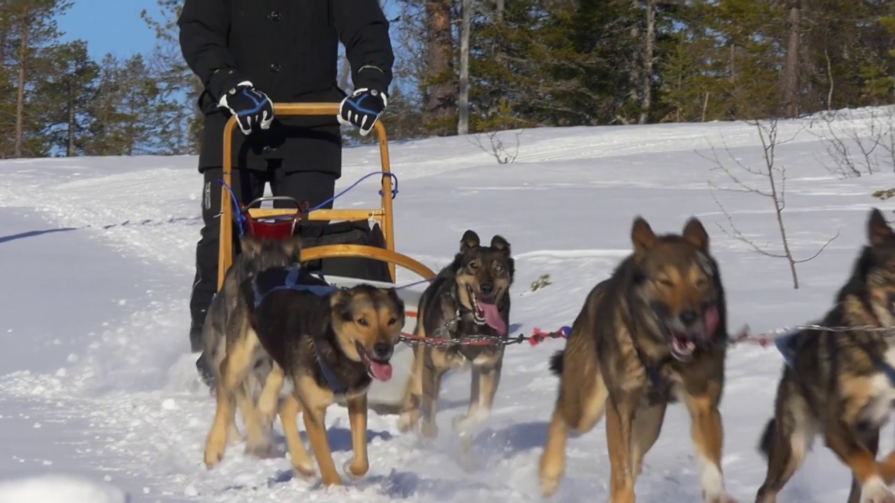 Video thumbnail of Join in on one of this year's last dog sledding tours!