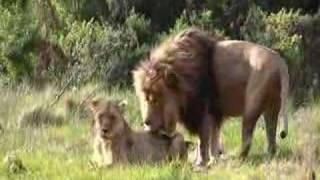 Panthera leo krugeri cubitus