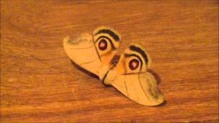 Hyperchiria orodina. (Saturniidae: Hemileucinae: Hemileucini)