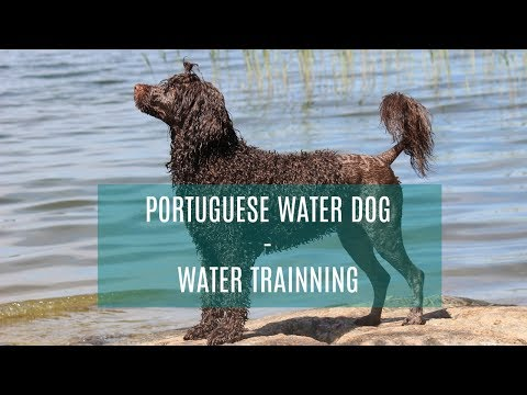 PORTUGUESE WATER DOG - TRAINING