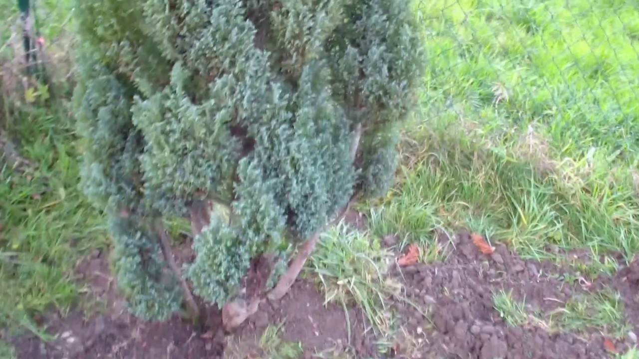 Baum Umpflanzen thuja hecke pflanzen umpflanzen in 30 min