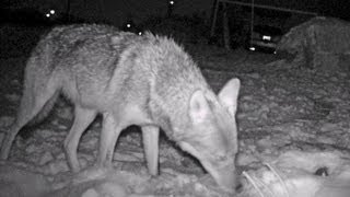 Nighttime animal photography, huge coyote drags and eats large deer and large owl