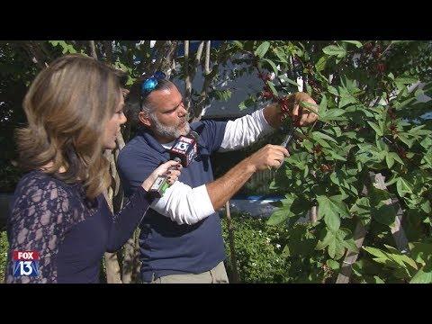 Growing and harvesting Florida cranberries