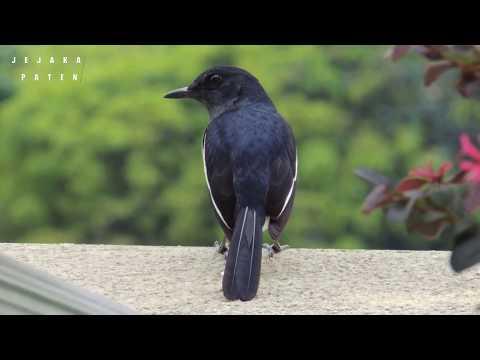 10 Burung kicau / ocehan yang paling di gemari!!