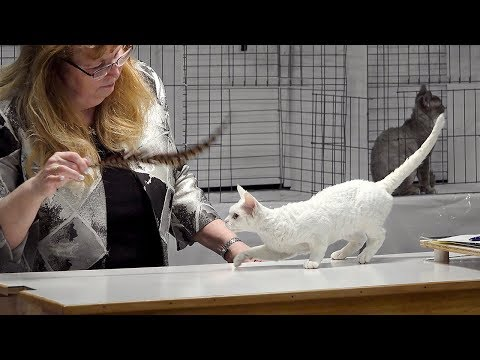 CFA International Cat Show 2017 - Championship Devon Rex.Set 1