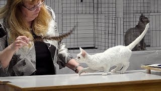 CFA International Cat Show 2017  Championship Devon Rex.Set 1