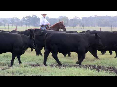 Angus VNR: Dr. Dan Moser and the future of cattle genetic evaluation