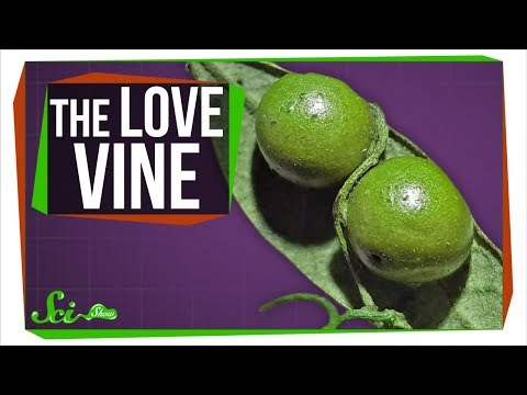The Vine That 'Loves' Parasitic Wasps to Death