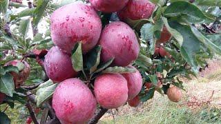 Gambar cover Shimla Apples Farm | Apple Orchard of Shimla India 2019 | Apple Picking Season | सेब का बगीचा