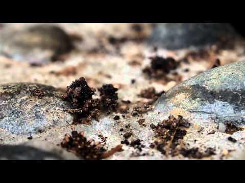 Ant-killing assassin bugs (Acanthaspis petax), Bukidnon, Phililppines
