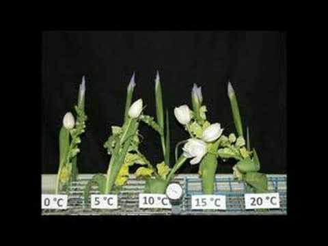 effect of temperature on flowering of phalaenopsis The flowering time of west african orchids 下载积分:3000 内容提示:.