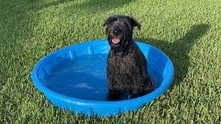Standard Schnauzer Cooling Off in Kiddie Pool