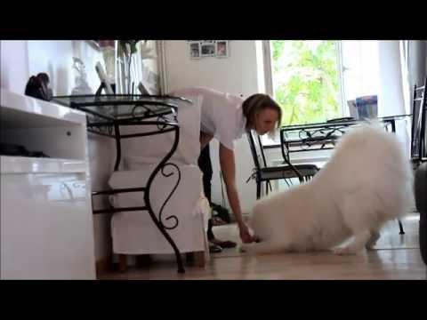 Hatchi my smart dog samoyed