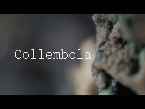 Вопрос: Коллемболы – кто такие, чем интересны, особенности?