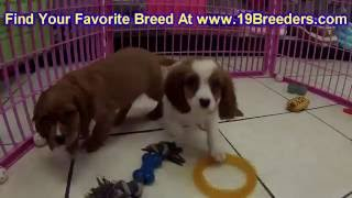 Cavalier King Charles Spaniel, Puppies, For, Sale, In, Badger, County, Alaska, Ak, Kink Fairview, Co